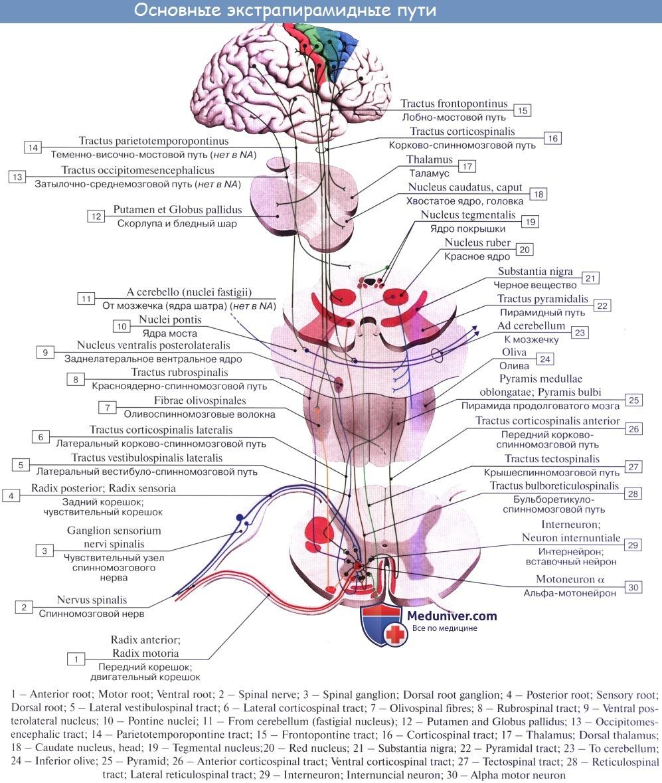 Видео схема, центры экстрапирамидных проводящих путей - tr.tectospinalis, tr.rubrospinalis, tr. vestibulospinalis, tr. reticulospinalis, tr. olivospinalis