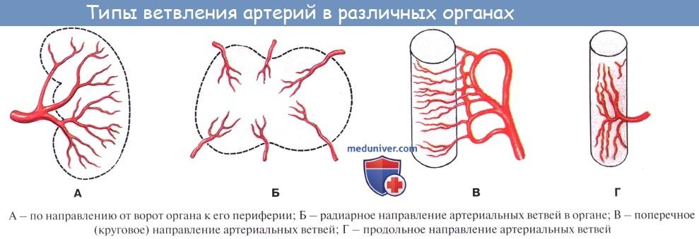Анатомия: Кровеносная система. Артерии. Стенка артерий. Капилляры. Вены