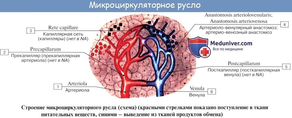 Анатомия: Схема кровообращения. Микроциркуляция. Микроциркуляторное русло
