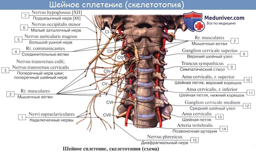 Анатомия: Шейное сплетение, plexus cervicalis и его ветви