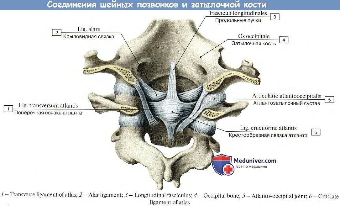 Мышцы приводящие движение атланто-затылочный сустав антибиотики при артрите и артрозе коленного сустава