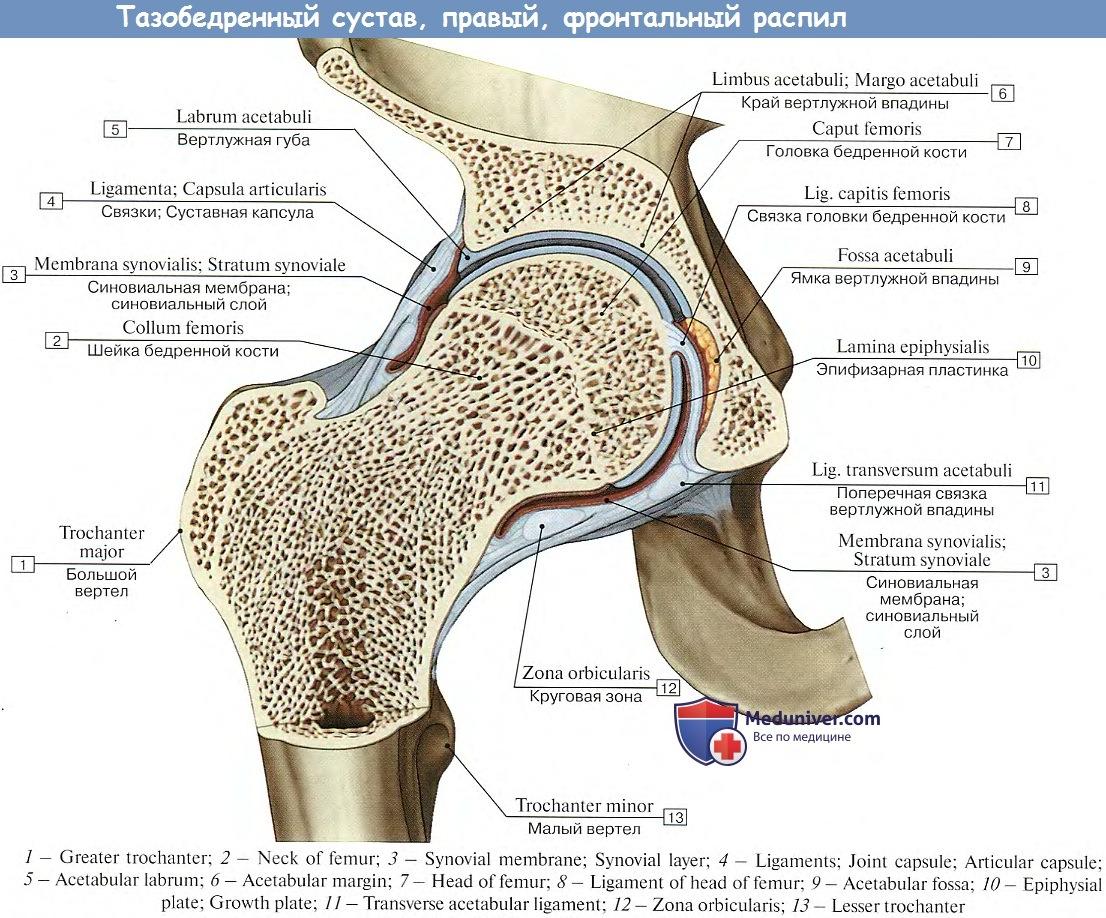 Бедренный сустав формы и оси детские инфекции с отёком суставов
