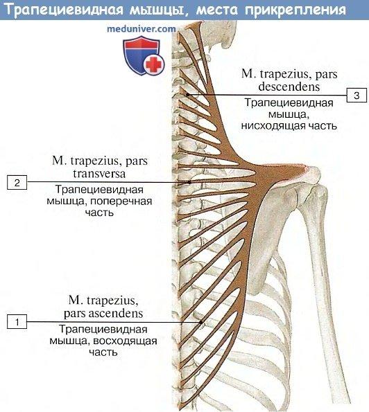 Анатомия: Трапециевидная мышца, m.trapezius
