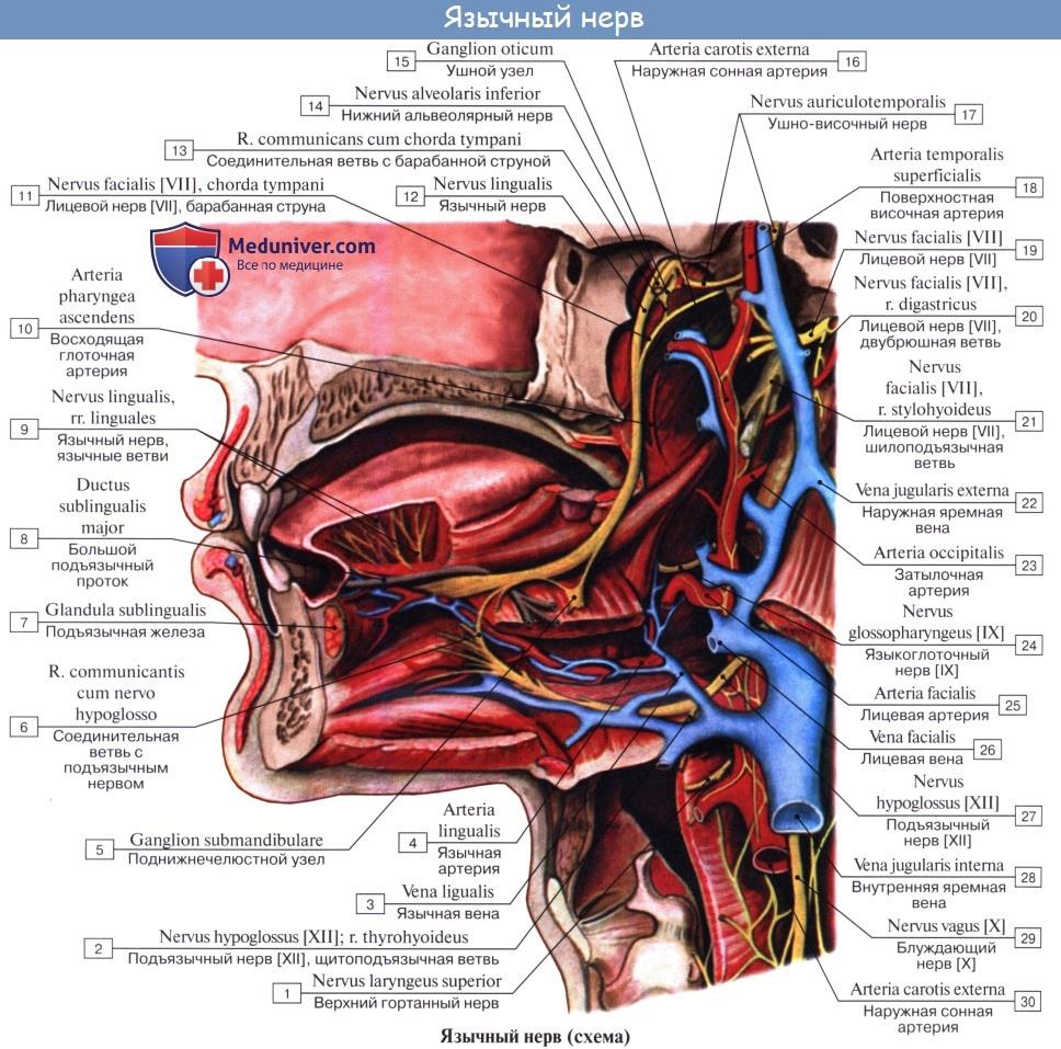 Анатомия: Язык. Строение языка. Мышцы языка. Иннервация, кровоснобжение языка
