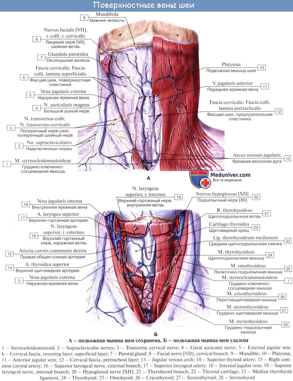 varicoză pulsare sub genunchi