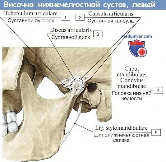 Изображение - Верхнечелюстной сустав анатомия visochno-nignechelustnoi_sustav-2a