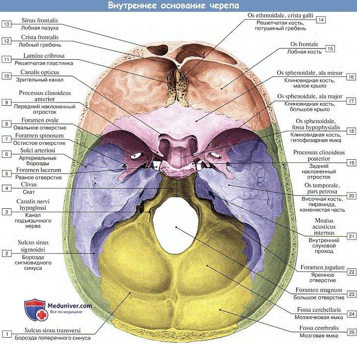 Анатомия: Внутреннее основание черепа