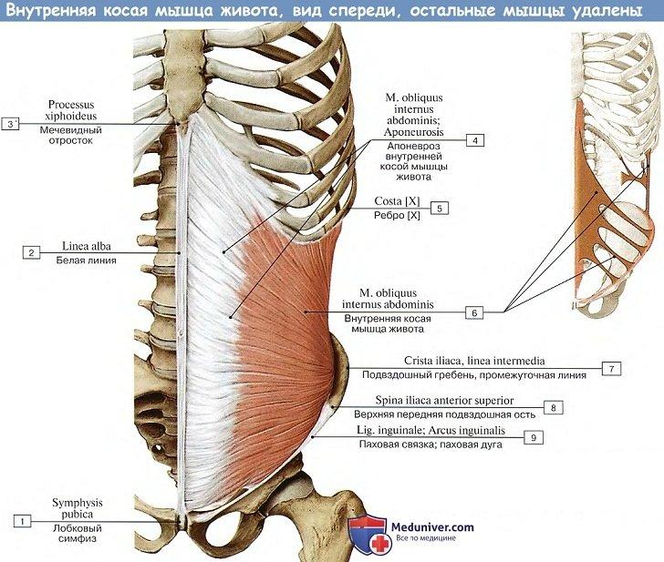 Анатомия: Внутренняя косая мышца живота