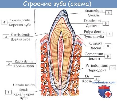 Строение (анатомия) зуба