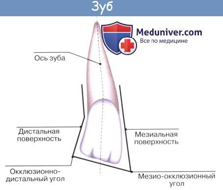 Анатомия: Зубы. Развитие зубов. Строение зуба. Сроки прорезывания молочных зубов