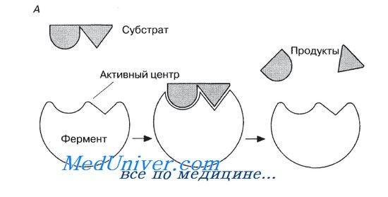 Механизм действия ферментов.