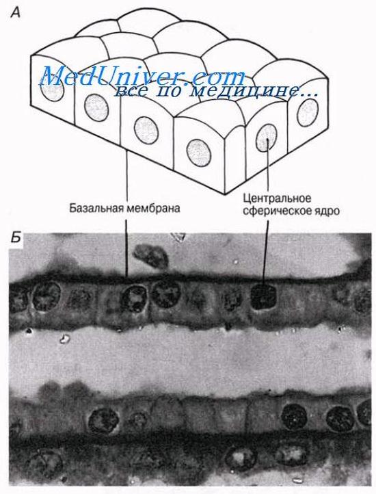 Клетка Ворсинчатая