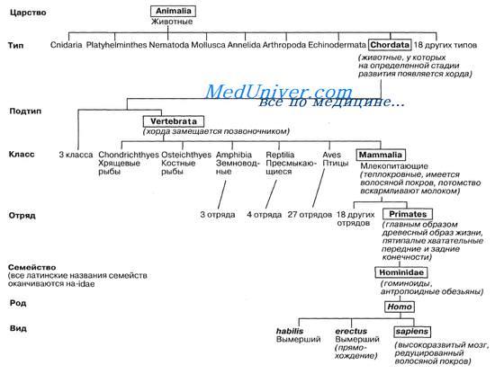 Пример иерархии таксономических групп.  Показаны не все группы животных.  На схеме приводятся и латинские...