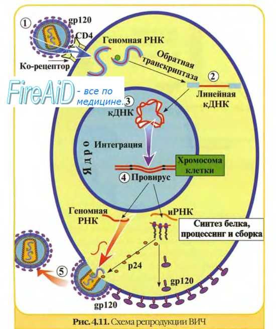 3 вида механизмов взаимодействия вируса с клеткой