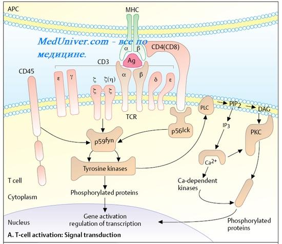 Рецептор Т-клеток. Активация Т-лимфоцитов. Субпопуляции Т-лимфоцитов. СD4+ лимфоциты