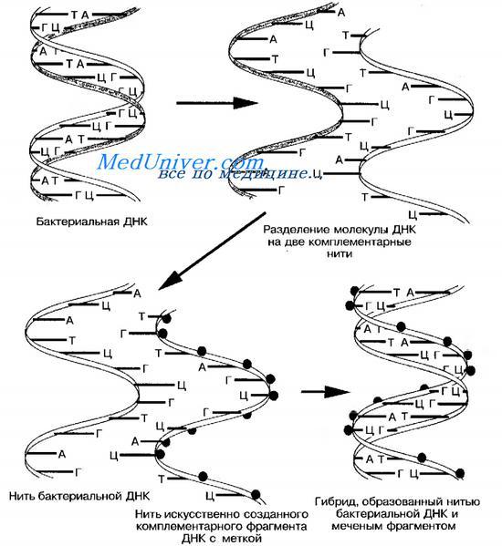 Реакция пцр микробиология 17