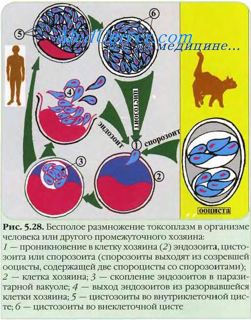 Токсоплазмоз. Возбудитель токсоплазмоза. Жизненный цикл ...
