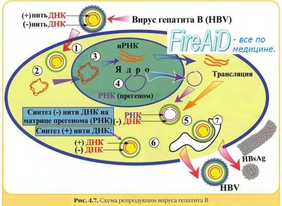 Синонимы Вакцина гепатита В рекомбинантная дрожжевая жидкая, Вакцина гепатита В рекомбинантная дрожжевая сухая...