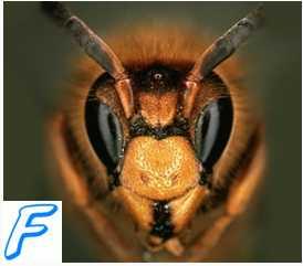 Клиника ( признаки ) укуса ядовитых насекомых.