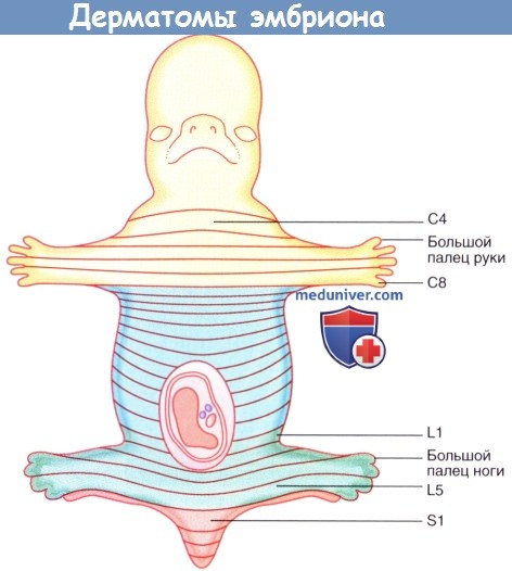 Дерматомы эмбриона