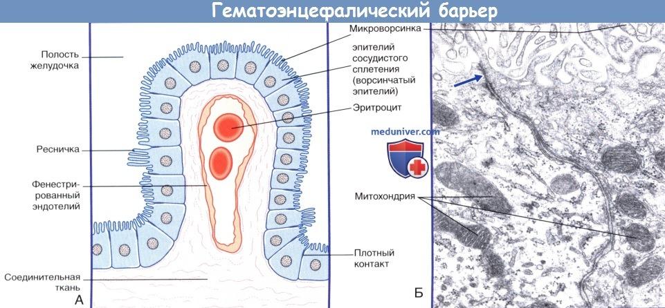 Гематоэнцефалический барьер - гистология