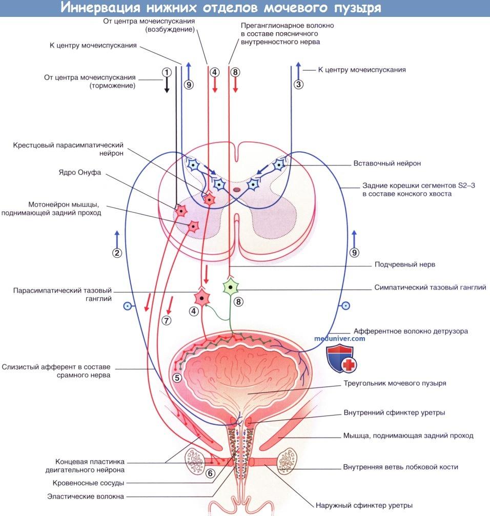 Иннервация нижних отделов мочевого пузыря