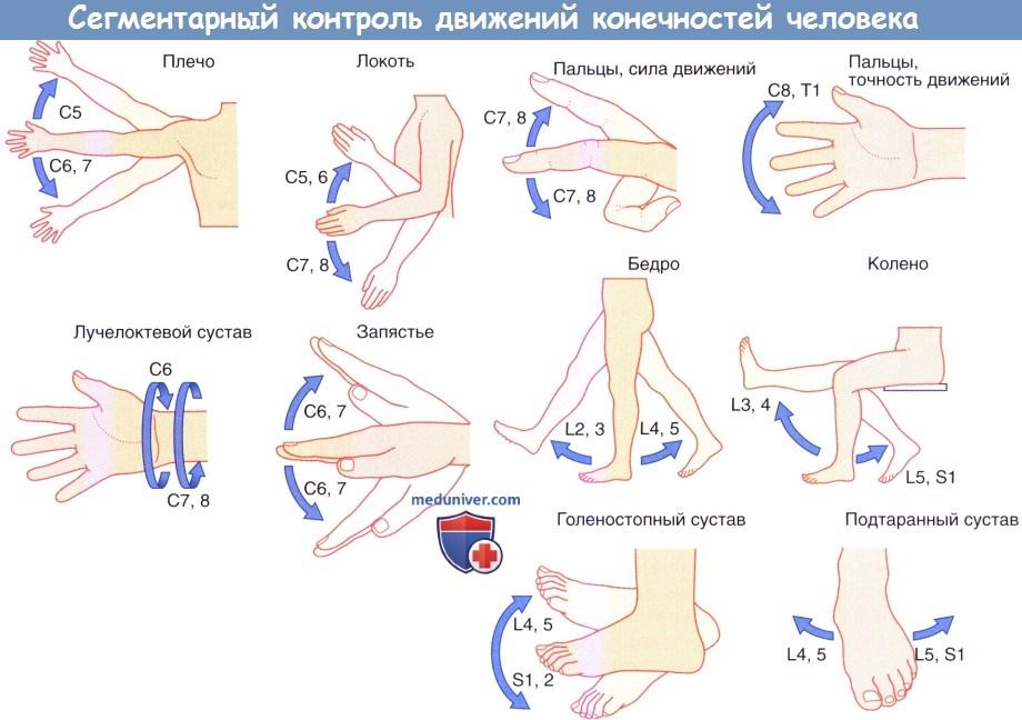 Сегментарный контроль движений конечностей человека