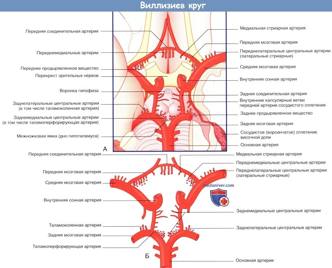 Артерии Виллизиева круга, кровоснабжающие головной мозг