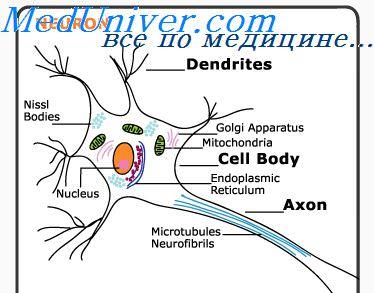 brain biology encyclopedia cells body function - 345×303