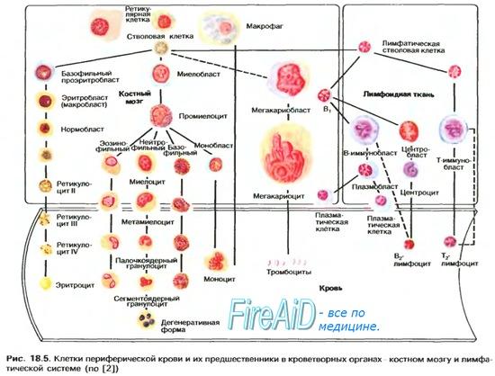 Сродство гемоглобина к кислороду. Изменение сродства гемоглобина к кислороду. Эффект Бора.