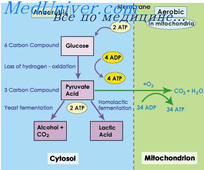aerobic vs anaerobic However, under anaerobic conditions, only 2 mol of atp can be produced aerobic glycolysis occurs in 2 steps the first occurs in the cytosol and involves the conversion of glucose to pyruvate with resultant production of nadh.