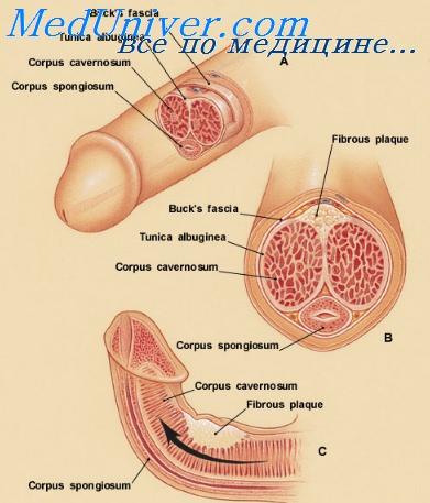 Увеличение полового пениса тестостерон