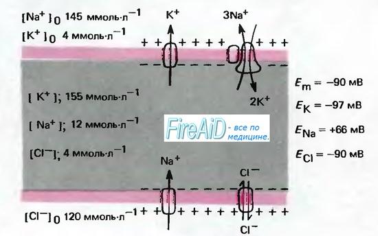 Воздействие Na/K-насоса (натрий калиевого насоса) на мембранный потенциал и объем клетки.