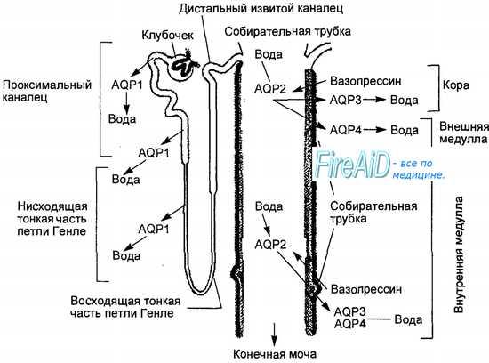 Регуляция канальцевой реабсорбции в нефронах почек