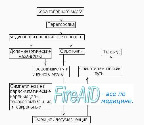 Регулирующее действие центральной нервной системы схематично представлено на схеме. а через медиаторы...