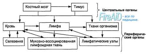 Иммунная система. Иммунная система человека. Неспецифический иммунитет. Специфический иммунный ответ. Рециркуляция лимфоцитов.