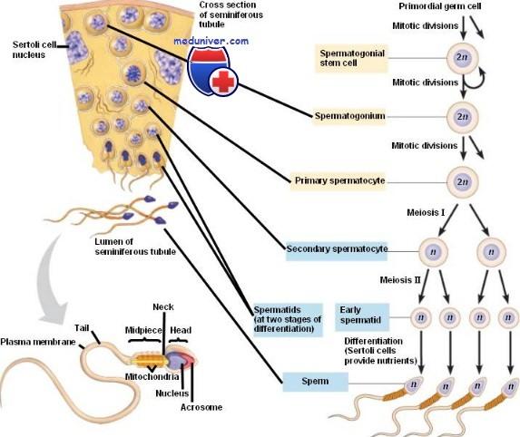 Сперматоцитогенез и спермиогенез