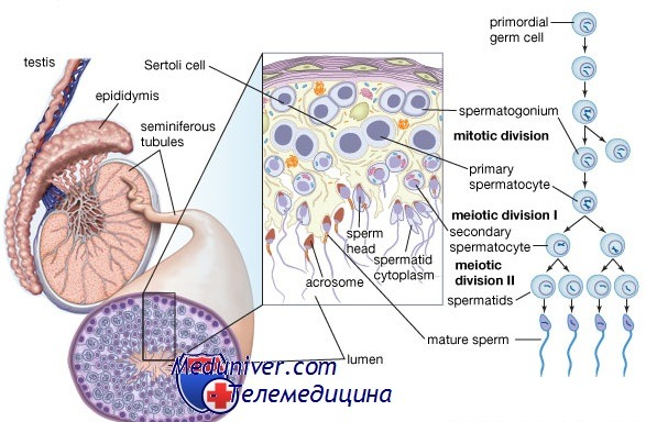 Нарушения процесса созревания сперматозоидов