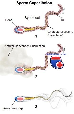 Капацитация сперматозоидов