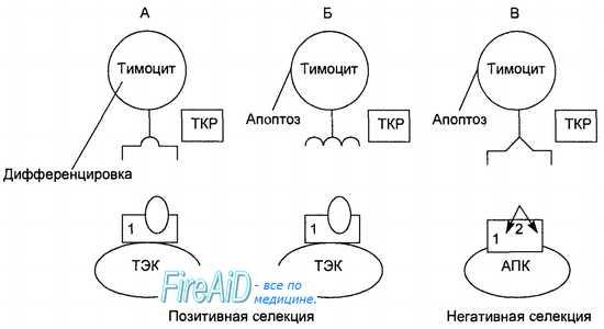 Этапы отбора тимоцитов в тимусе