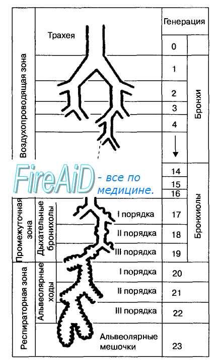 Схема дыхательных путей легких