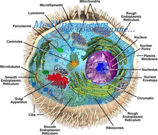 Функции днк в клетке