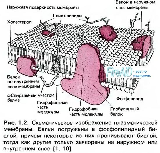 Клеточная мембрана и гликокаликс