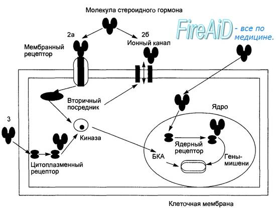 механизм действия статинов схема