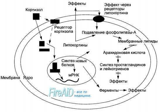 механизм действия кортизола