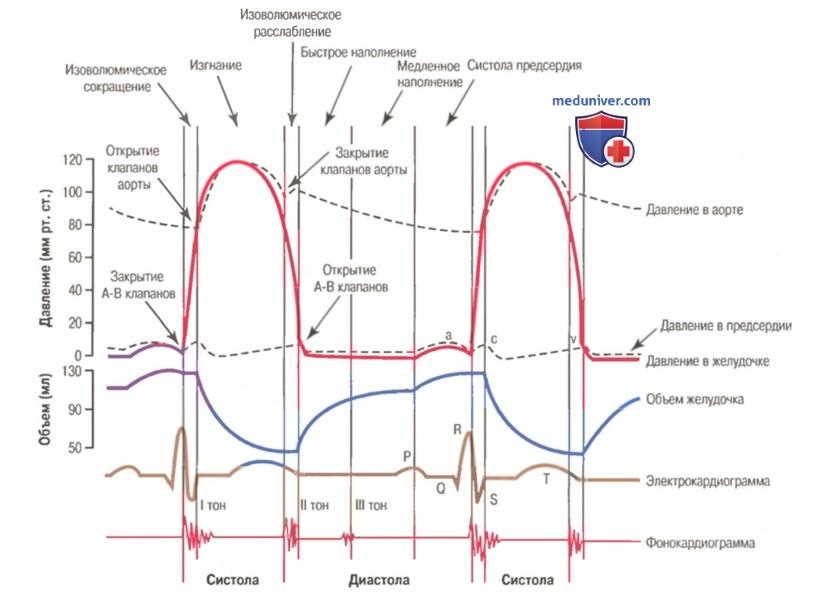 сердечный цикл и экг