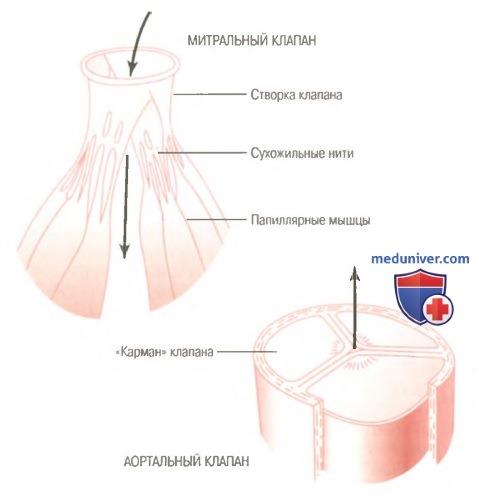 физиология клапанов сердца