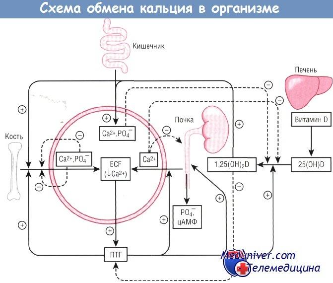 Обмен кальция в организме