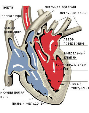 Пороки митрального клапана. Признаки стеноза митрального клапана.