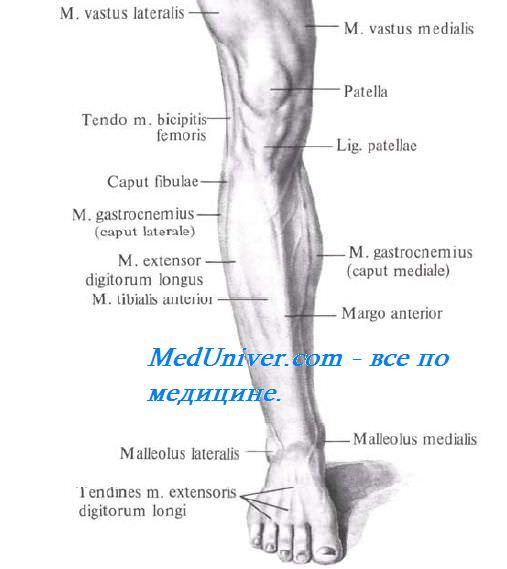 Передняя поверхность коленного сустава. Границы передней поверхности коленного сустава. Внешние ориентиры передней поверхности коленного сустава